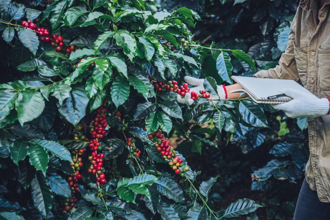 Coffee grower