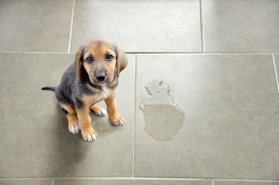 puppy next to peeing puddle