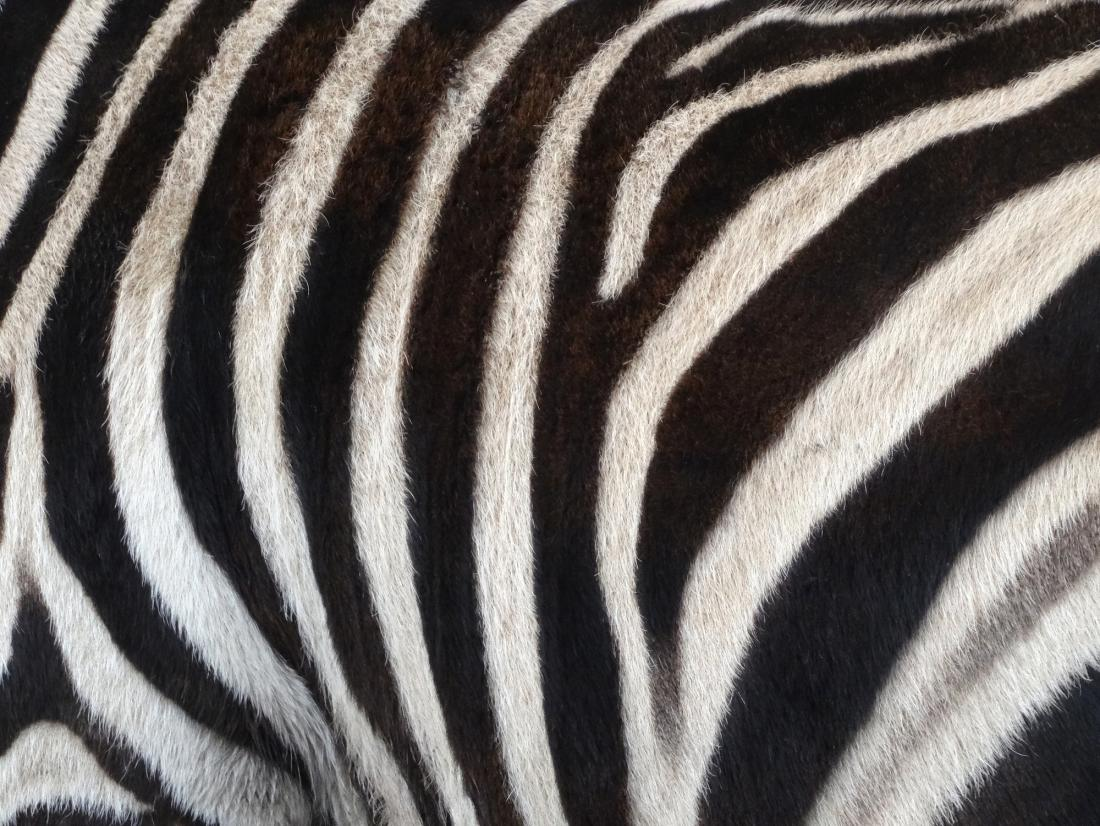 Zebra hide close up