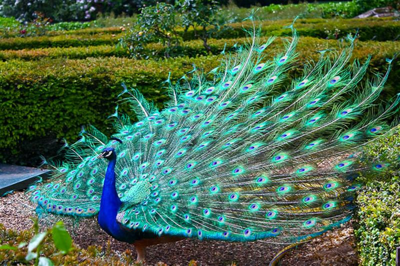 Amazing 3d Peacock Wings Wallpapers Wisgoon ویسگون طاووس 904656