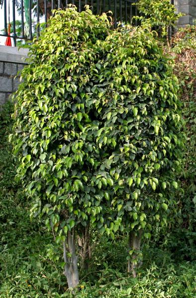 How To Trim A Ficus Tree   Garden Guides