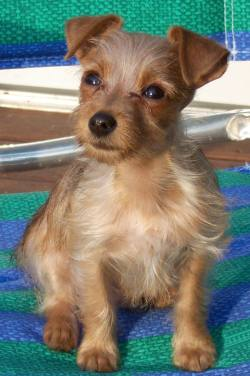 Small Of Dachshund Yorkie Mix