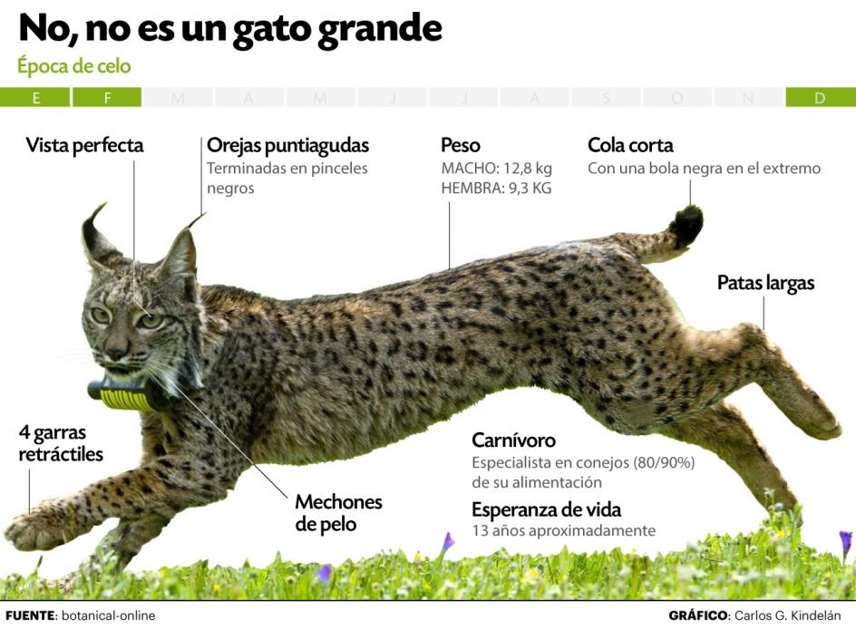 Pantera Animal Wallpaper La Poblaci 243 N De Lince Ib 233 Rico Se Cuadriplica En Quince A 241 Os