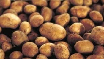 Europa prohíbe el cultivo de la patata transgénica Amflora