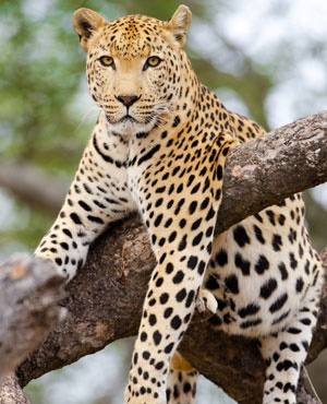 Animal Planet Wallpaper Shockwildlifetruths Self Defence Leopard Kill In