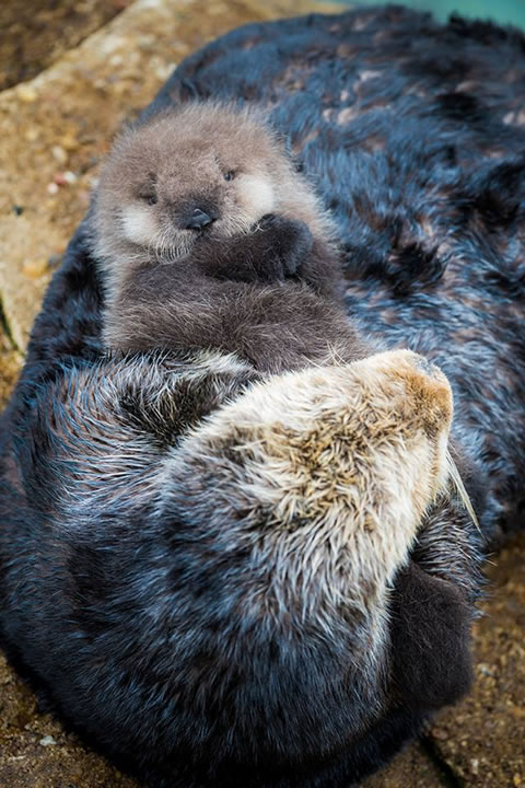 Cute Cry Baby Wallpaper Photos Monterey Bay Aquarium Welcomes New Sea Otter Pup