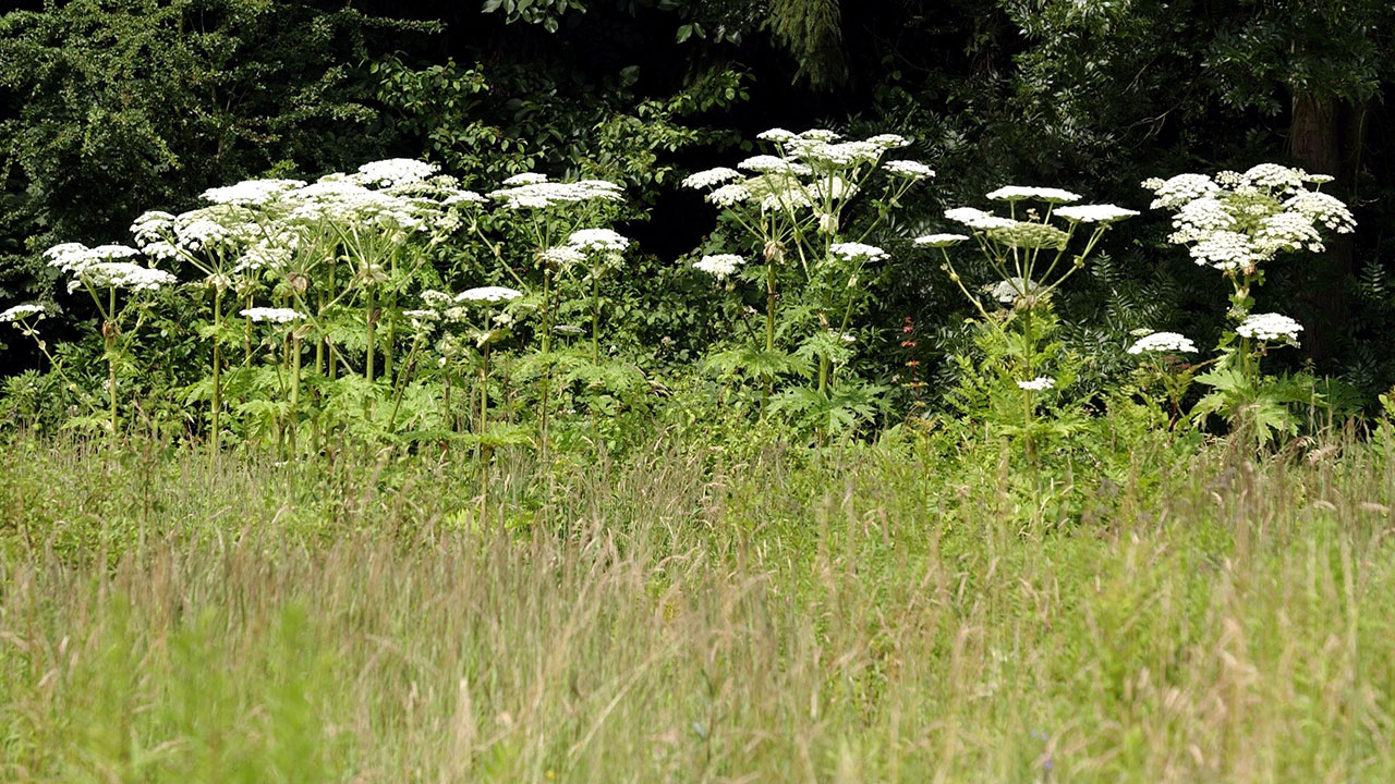 Giant Hog Weed Giant Hogweed: Virginia Officials Warn Of Invasive Plant's