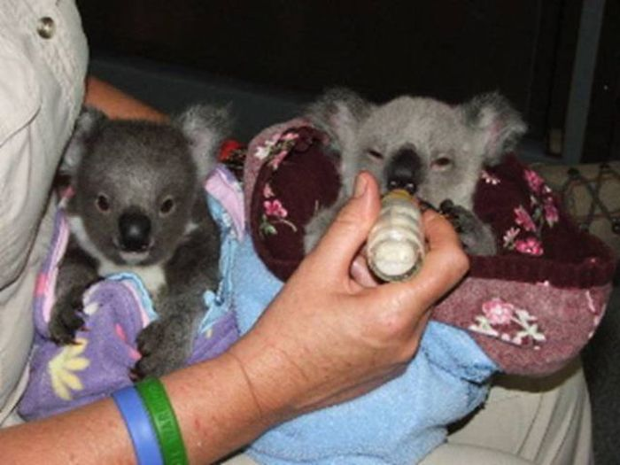 Baby Twins Killed By Mother Rescued Baby Koalas 11 Pics