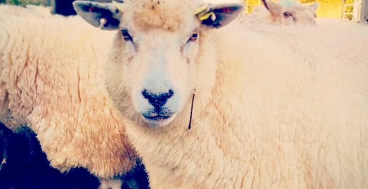 Getting ewe nutrition in late pregnancy right - Agrilandie