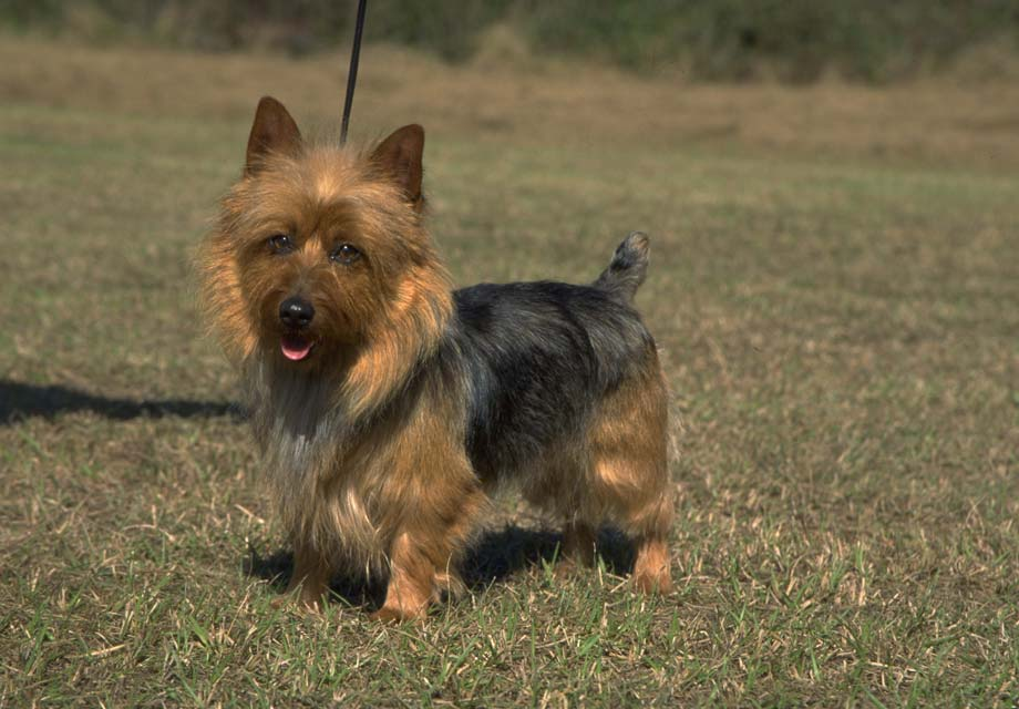 Image For Australian Terrier Puppies For Sale