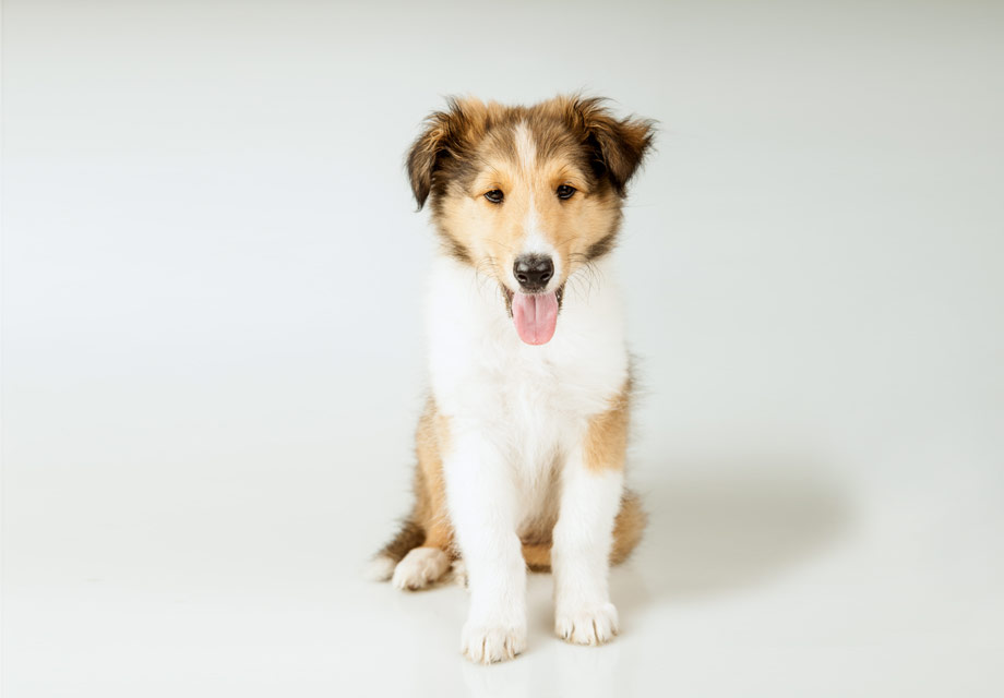 Image For Miniature Collie Puppies Puppies Puppy