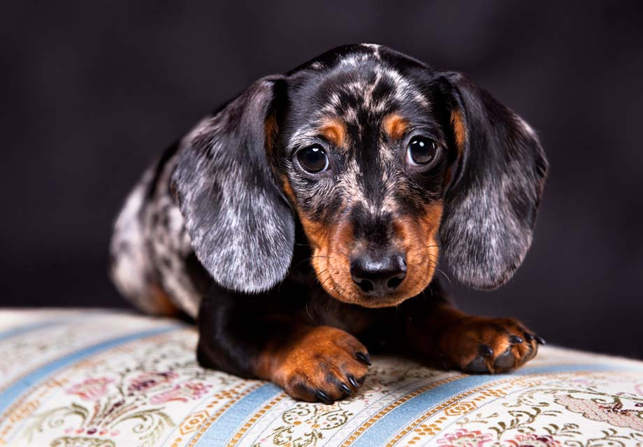 Cute Dachshund Wallpaper Dachshund Puppies For Sale Akc Puppyfinder