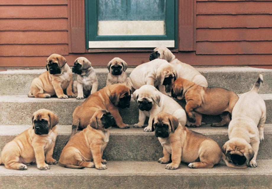 fluffy mastiff puppies for sale