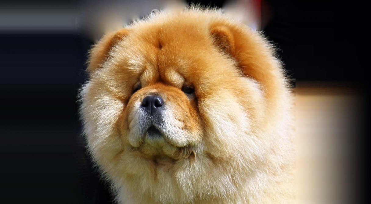 Cute Puppies Full Hd Wallpapers Chow Chow Dog Breed Information American Kennel Club