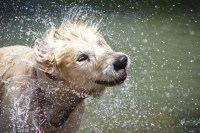 Why Do Wet Dogs Smell So Bad?  American Kennel Club