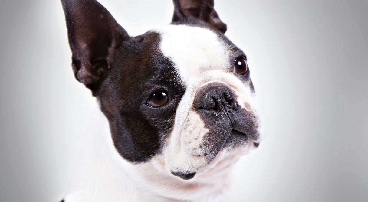 Puppies In Fall Wallpaper Boston Terrier History Amp Training Temperament American