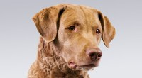 Image For Golden Retriever Dog Breed Information Akc Org