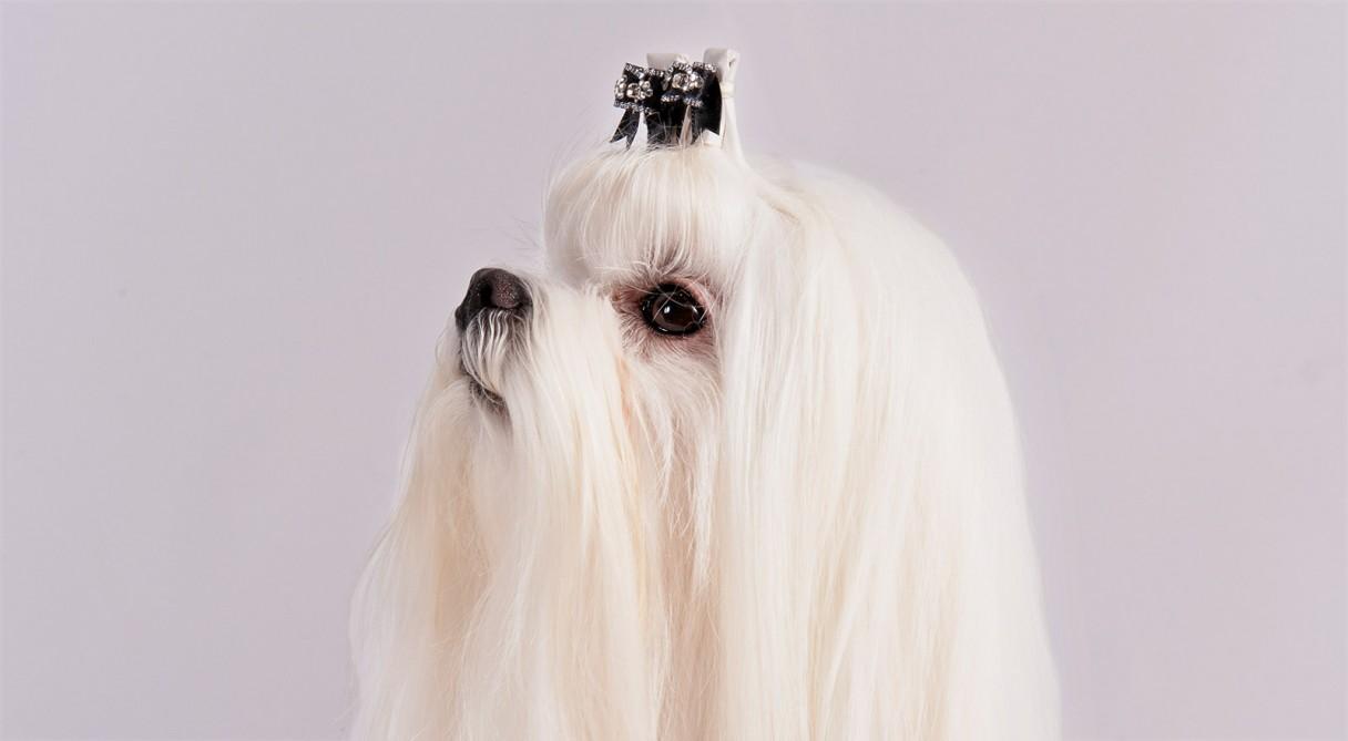 Fullsize Of Large White Dog Breeds