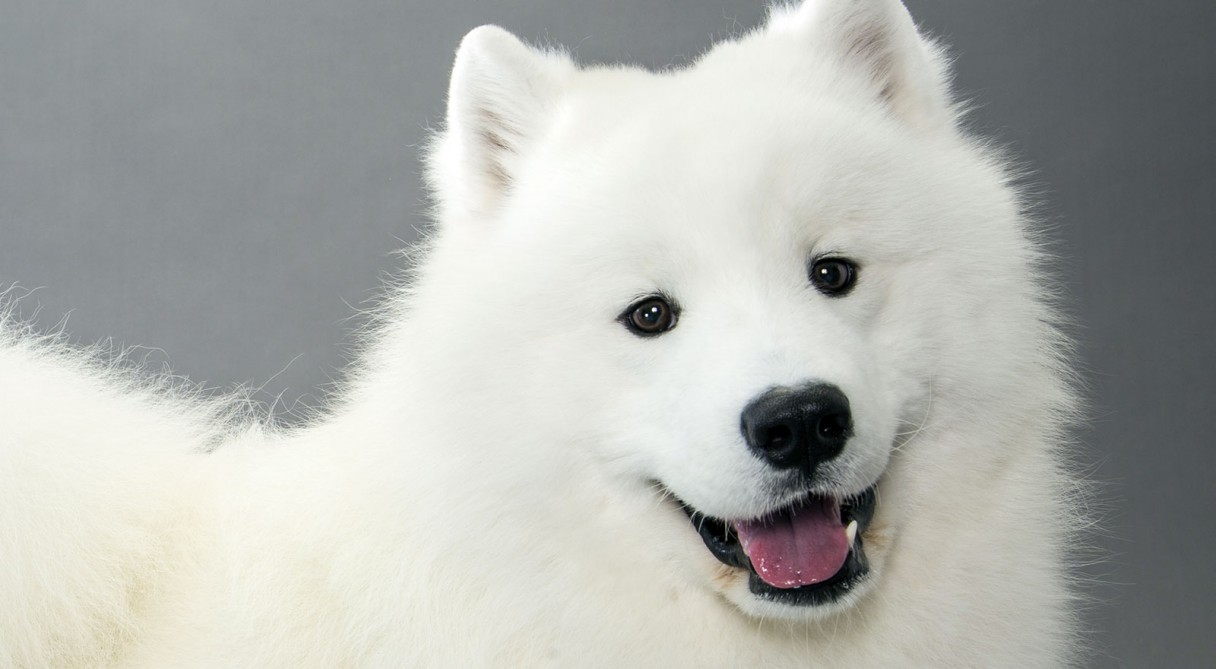 Cute Baby Blue Eyes Wallpaper Samoyed Dog Breed Information American Kennel Club