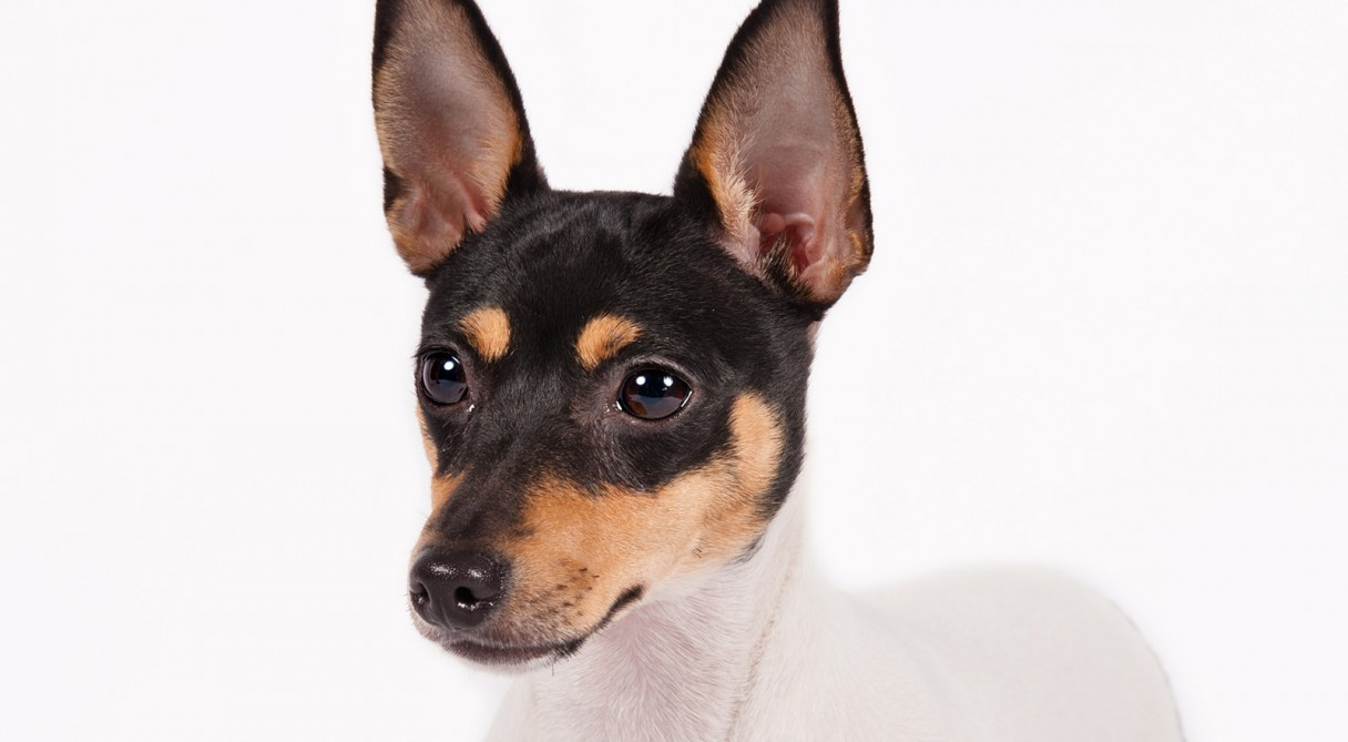 Image For Manchester Terrier Dog Breed Information Akc Org