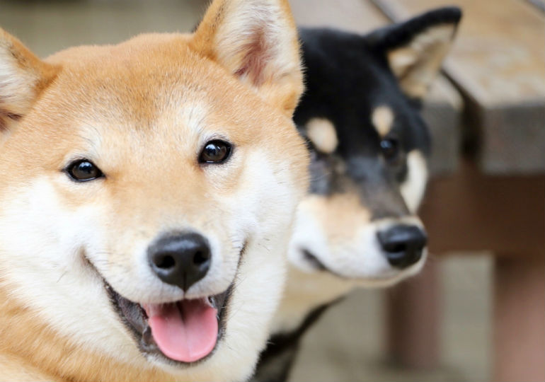 Fall Pug Wallpaper 8 Things You Didn T Know About The Shiba Inu American