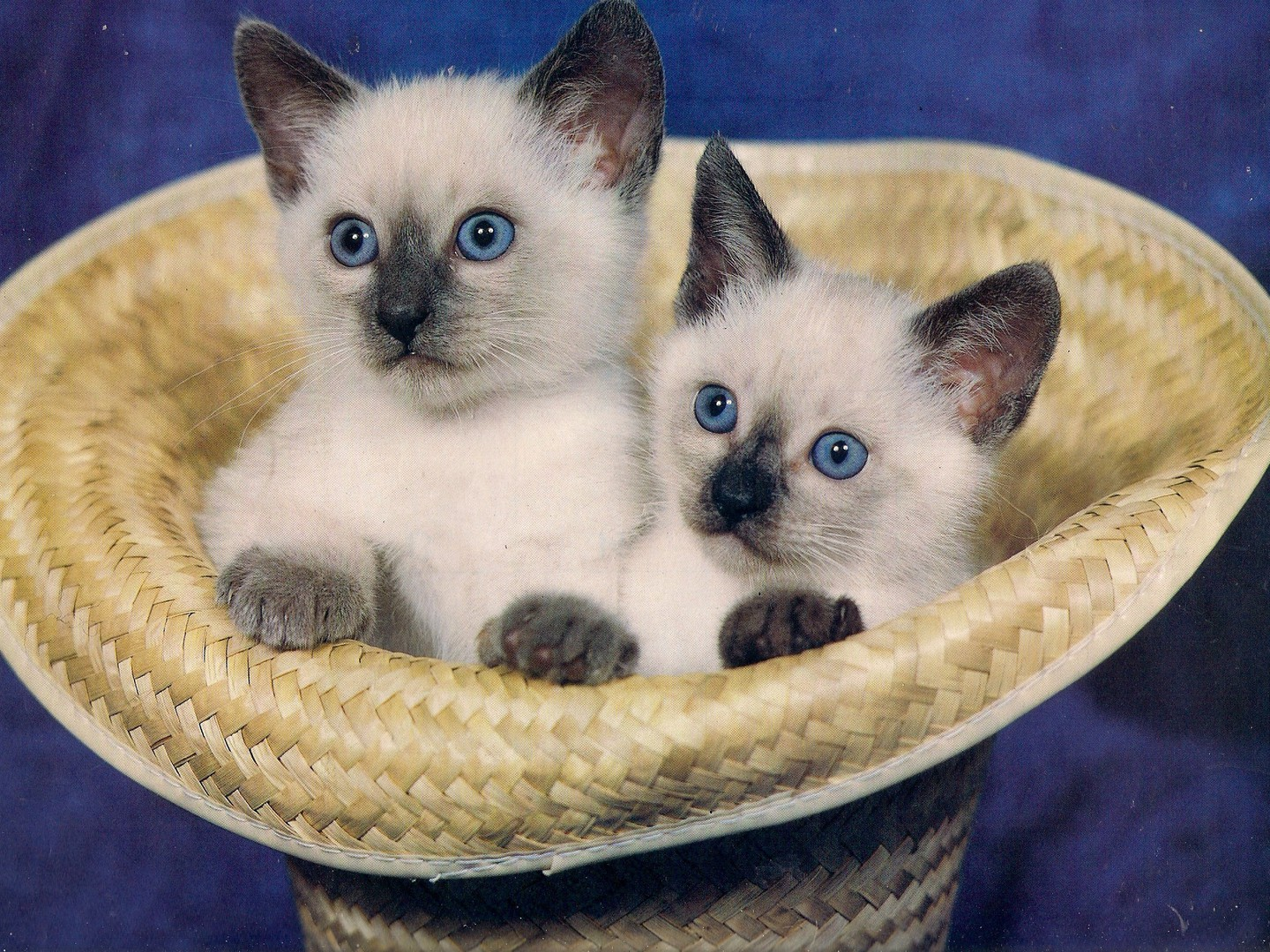 Cute Baby Pictures Desktop Wallpapers Siamese Twin Kittens Wallpaper Allwallpaper In 1768
