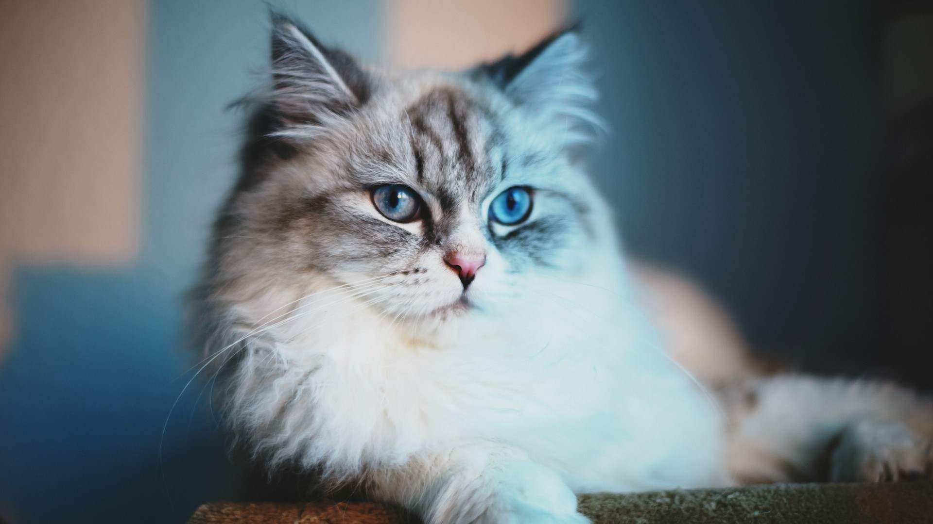 Sweet And Cute Wallpapers For Mobile Blue Cat Meow Wallpaper Allwallpaper In 5678 Pc En