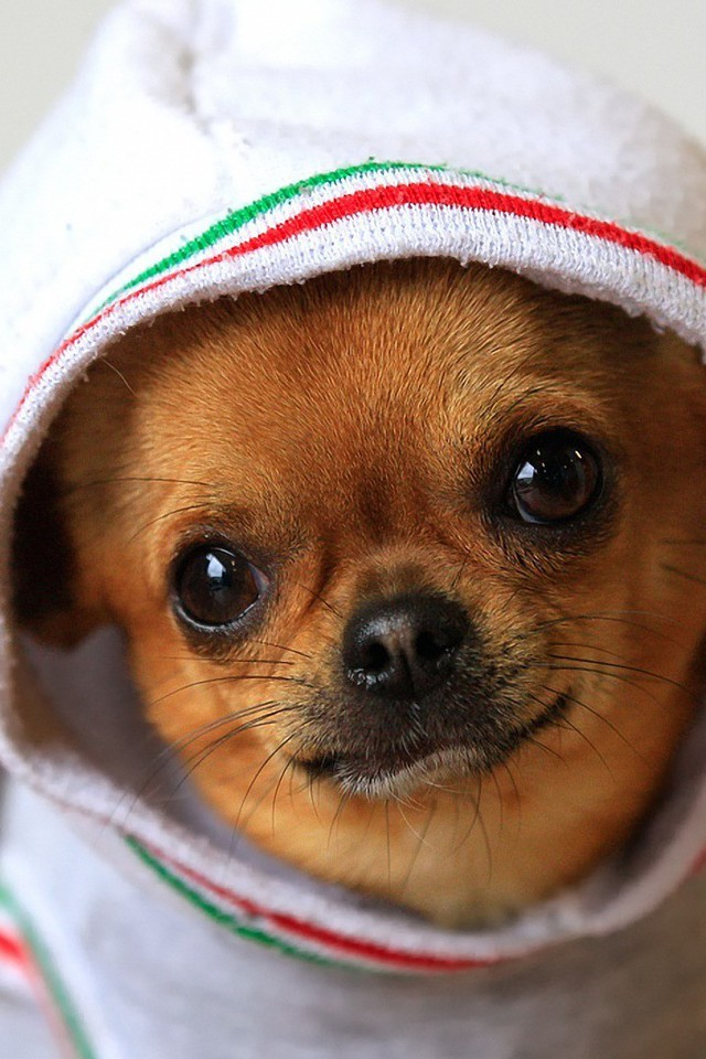 Chihuahua Wallpaper For Iphone Animals Dogs Funny Chihuahua Wallpaper Allwallpaper In
