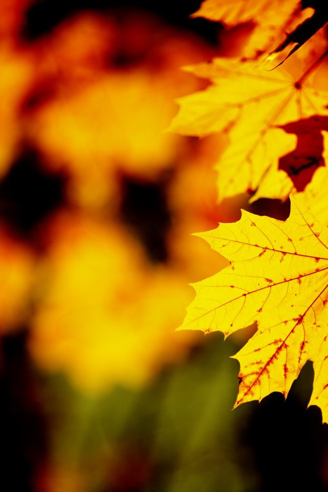 Fall Wallpaper 1600x900 Fall Maple Leaf Wallpaper Allwallpaper In 13152 Pc En