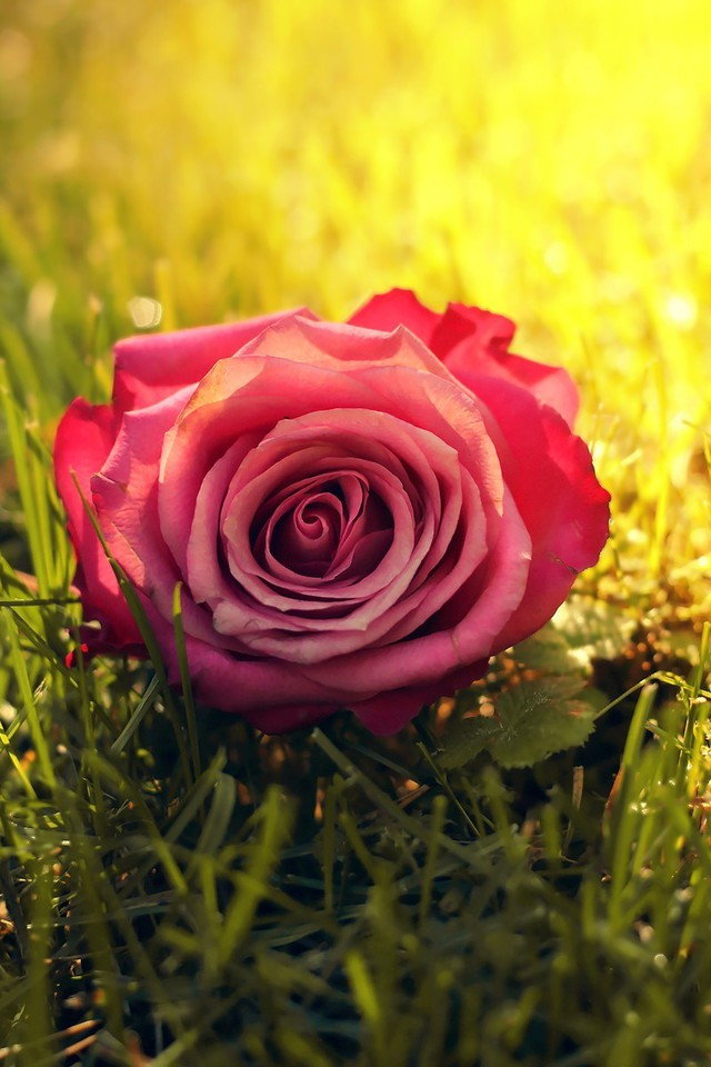Hd Photos For Mobile Wallpaper Nature Flowers Grass Sunlight Roses Pink Rose Wallpaper