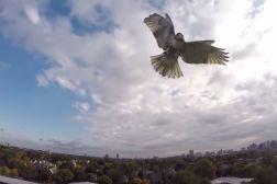 Hawk Attacks Drone Video