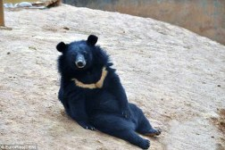 Asian Black Bears Raised Puppies Man China