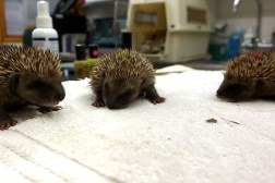 Baby Hedgehogs Sneezing YouTube Video