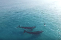 Whale Drone Video