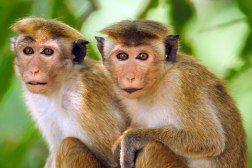 Autistic Monkeys Genetically Engineered China
