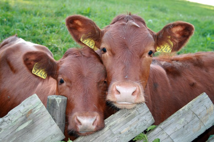 Cloned Cattle