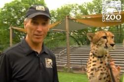 Cheetah Runs
