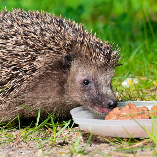 How To Save These Garden Animals Before It S Too Late - Was Frisst Der Igel