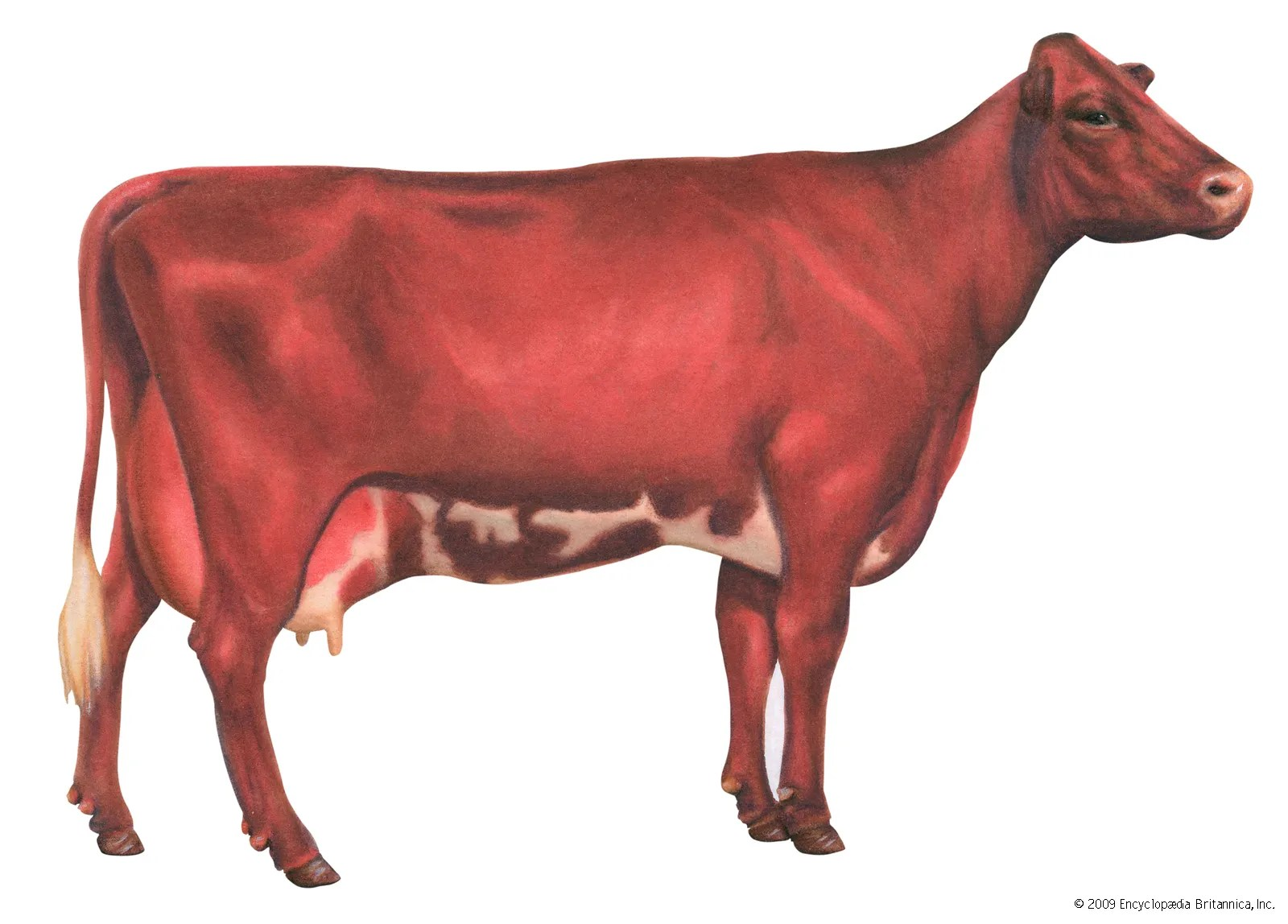 Cow Description Facts Britannica