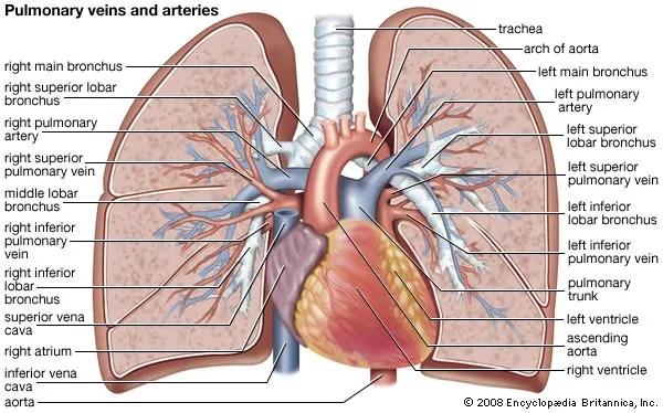 Pulmonary circulation physiology Britannica
