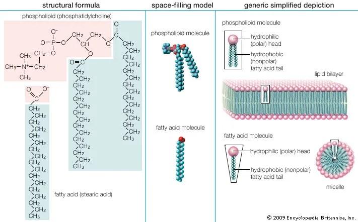 Fatty acid chemical compound Britannica