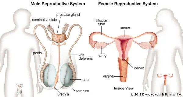 human reproductive system Definition, Diagram  Facts Britannica