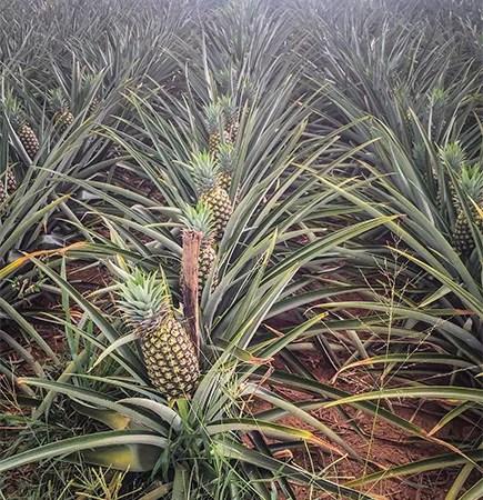 pineapple - Kids Britannica Kids Homework Help