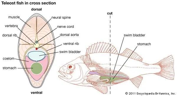 Swim bladder fish anatomy Britannica
