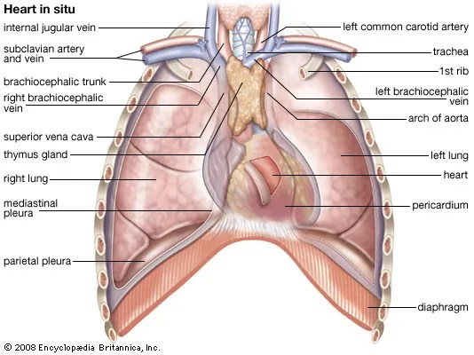 heart Structure, Function,  Facts Britannica