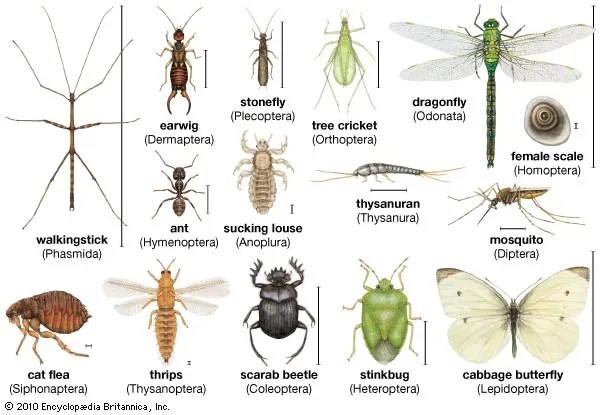 insect Definition, Facts,  Classification Britannica