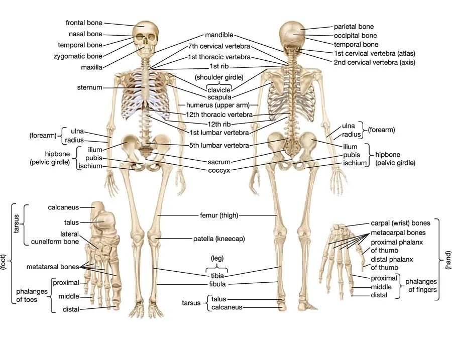 human skeleton Parts, Functions, Diagram,  Facts Britannica