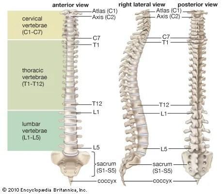 Vertebral column anatomy Britannica