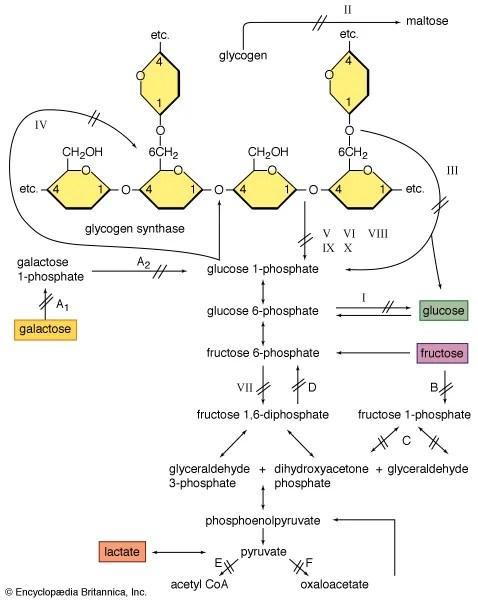 Glycogenolysis biochemistry Britannica