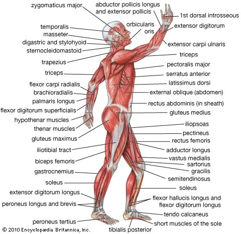 human muscle system Functions, Diagram,  Facts Britannica